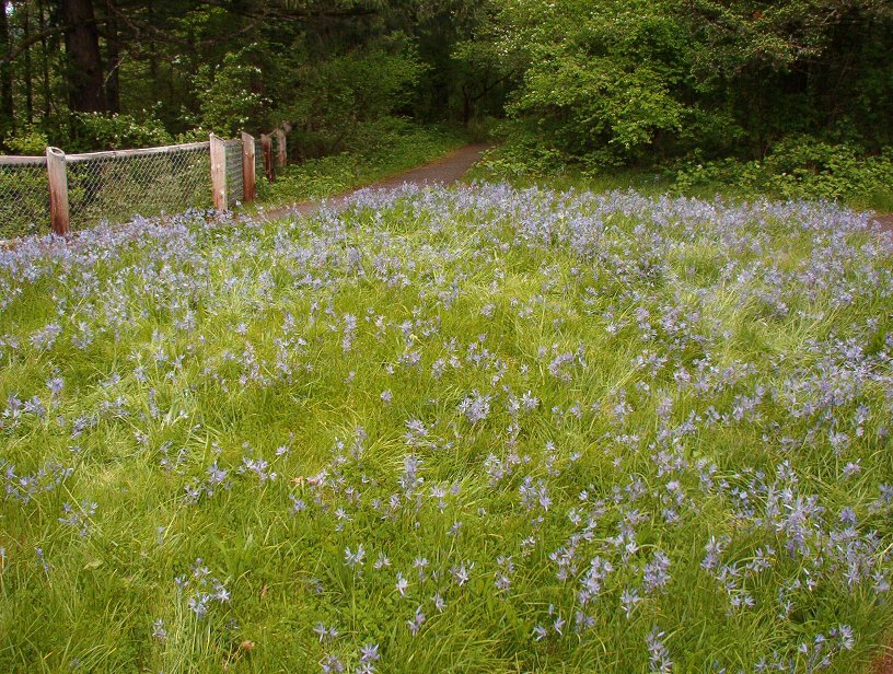A small camas field atop the bluff